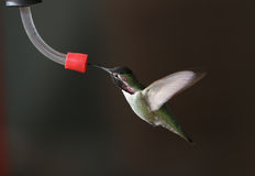 Hummingbird at feeder - 1. Hummingbird at feeder - wings backward royalty free stock photography