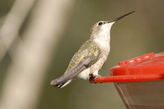 Hummingbird on Feeder. Hummingbird from the Arizona-Sonora Desert Museum perched on feeder Royalty Free Stock Photo