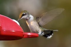Hummingbird on feeder. A hummingbird eating from a feeder stock image