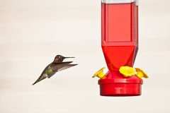 Hummingbird and feeder. Side view of hummingbird hovering next to red feeder, isolated on light background Stock Images