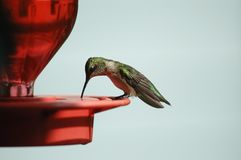 Hummingbird on Feeder. Close-up of a ruby throated hummingbird drinking from a red feeder Royalty Free Stock Image