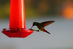 Hummingbird on a Feeder Royalty Free Stock Images