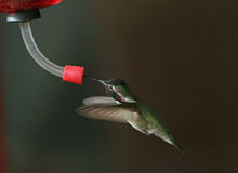Hummingbird at feeder - 2. Hummingbird at feeder - wings foreward royalty free stock image