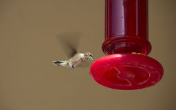 Hummingbird at Feeder. A hummingbird at nectar a feeder Royalty Free Stock Photo