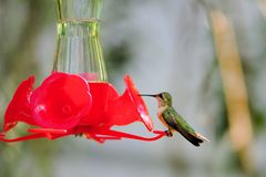 Hummingbird on feeder Royalty Free Stock Photography