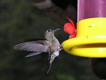 Hummingbird and feeder. Side view of hummingbird hovering by colorful bird feeder stock images