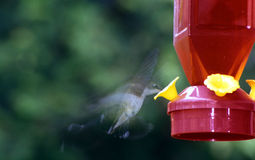 Hummingbird at Feeder. Hummingbird in motion feeding from a red feeder stock images