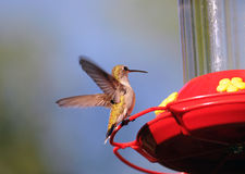 Hummingbird at the Feeder. A tiny hummingbird flying to the feeder Royalty Free Stock Images