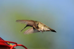 Hummingbird at feeder Royalty Free Stock Photography