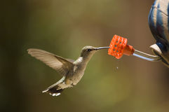 Hummingbird at feeder. A hummingbird in flight samples the nectar at a bird feeder in Taos, New Mexico. Ample room is provided for headline and text copy image royalty free stock image