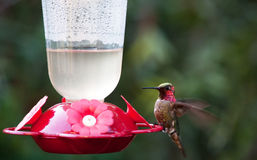 Hummingbird at Feeder Stock Image
