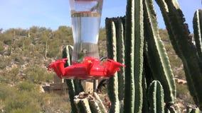 Hummingbird at Feeder. A colorful hummingbird at a backyard feeder stock video