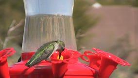 Hummingbird on Feeder. A colorful hummingbird at a backyard feeder stock video