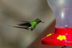 Hummingbird at feeder Royalty Free Stock Photo