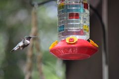 Hummingbird at a feeder Stock Photography