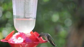 Hummingbird at Feeder II. Female hummingbird at red feeder on summer day stock video
