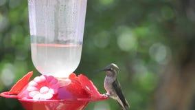 Hummingbird at Feeder I. Female hummingbird at red feeder on summer day stock footage
