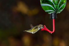 Hummingbird and feeder. Royalty Free Stock Image
