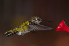 Hummingbird and feeder. Royalty Free Stock Photos