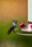 Hummingbird and feeder. Stock Image