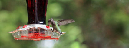 Hummingbird-at feeder wings up. Royalty Free Stock Photography
