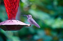 Hummingbird on a feeder Stock Photos