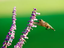 Hummingbird feeding Royalty Free Stock Photos