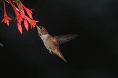 Hummingbird feeding. On nectar form flowers Royalty Free Stock Photos