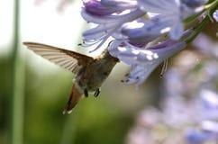 Hummingbird feeding. A small hummingbird feeding on nectar from a purple flower royalty free stock images