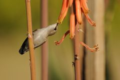 Hummingbird Feeding at the Aloe Vera Flower Stock Images