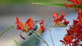 Hummingbird feeding. Bird eating honey from the flowers stock video footage