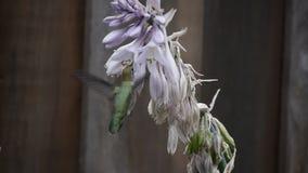 Hummingbird feeding. Birds eating Honey from flowers stock video footage