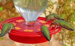 Hummingbird Feeding. A closeup image of four hummingbirds sharing the same feeder Stock Images