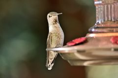 A Hummingbird feeding from the feeder stock photography