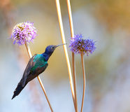 Hummingbird feeding on the flower 2 Stock Images