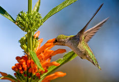 Hummingbird feeding on flower. Incredible speed of the hummingbird when feeding on flowers is stunning - a shutter speed of 1/1000sec barely stops the action Stock Photo