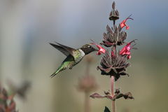 Hummingbird feeding on flower Royalty Free Stock Photos