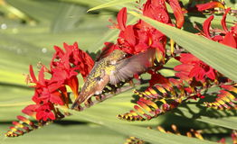 Hummingbird Feeding on Crocosmia Flower Stock Photography