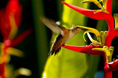 Hummingbird Feeding On Heliconia Royalty Free Stock Images