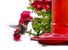 Hummingbird feeding on hummingbird feeder Royalty Free Stock Image
