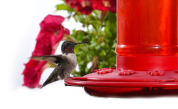 Hummingbird feeding on hummingbird feeder Royalty Free Stock Photo