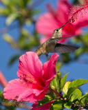 Hummingbird feeding in late afternoon Stock Photography