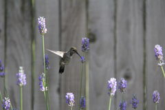 Hummingbird feeding on Lavender Stock Image
