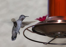 Hummingbird Feeding Royalty Free Stock Photography