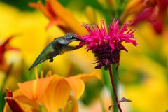 Hummingbird feeding on monarda Royalty Free Stock Photo