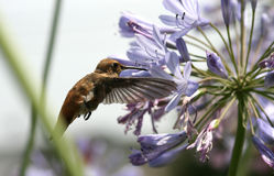 Hummingbird feeding on nectar. A hummingbird in flight while sipping on nectar from an Agapantha flower stock image