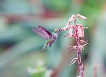 Hummingbird Feeding on Nectar. Hummingbird gathering nectar in a botanical garden Stock Photography