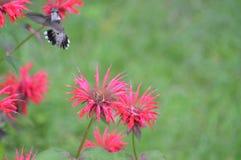 Free Hummingbird Feeding On Bee Balm Nectar Royalty Free Stock Images - 135803729