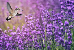Hummingbird Feeding On Wild Flowers Royalty Free Stock Photo