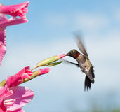 Hummingbird feeding on a pink Gladiolus flower Royalty Free Stock Photos